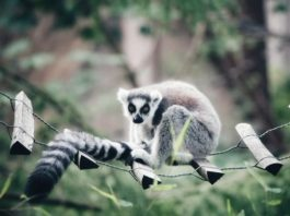Gifts for the Lemur Obsessed