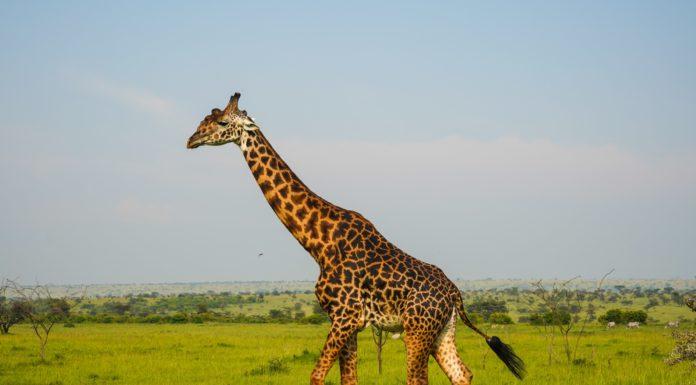Gifts For Giraffe Lovers