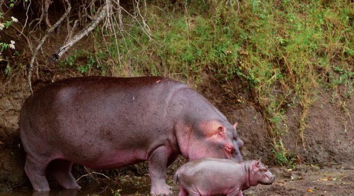Hippopotamus Gifts